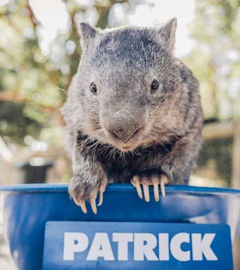 Australia: morto Patrick il wombat più famoso e social del mondo