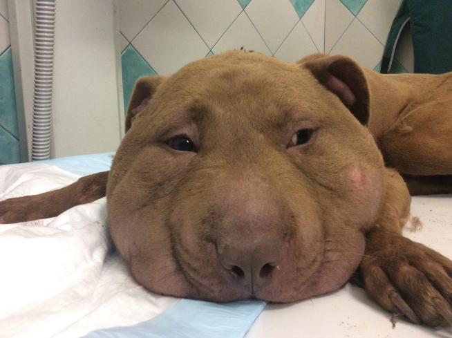 Oristano, cane semi decapitato con un laccio: il muso gonfiato a dismisura