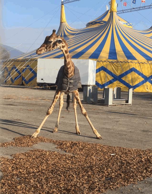 Le giraffe abbandonate a zero gradi