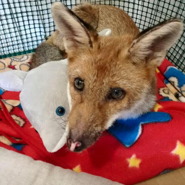 Rosa Fumetta , la piccola volpe salvata da un incendio e ora testimonial di denuncia