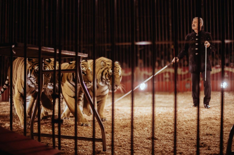 Bari, domatore di un circo Orfei ucciso dalle tigri