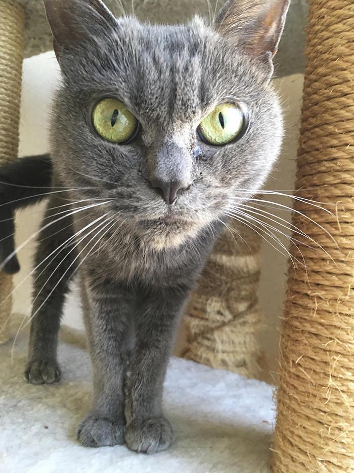Giappone Il Gatto Più Arrabbiato Del Mondo Si Chiama Shamo Foto