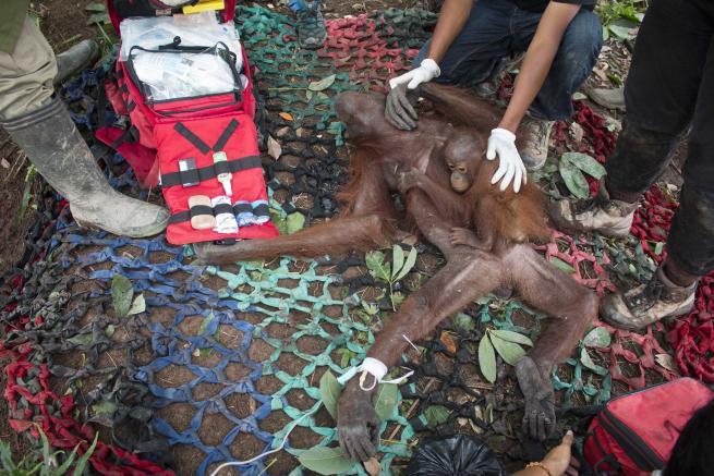 Borneo, affamatissima ma agguerrita: ecco mamma orango che difende il suo cucciolo