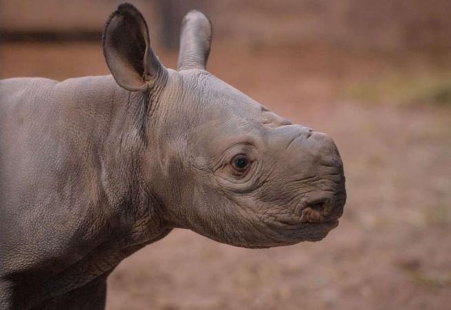 Debutto in società per Gabe, il cucciolo di rinoceronte a rischio estinzione