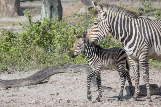 Usa, grande festa per l ultima arrivata allo zoo di Tampa: è una zebra di Hartmann