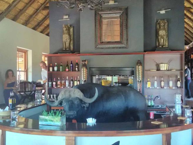Quando il barman è un bufalo