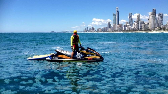 Australia, le meduse blu invadono il paradiso dei surfisti