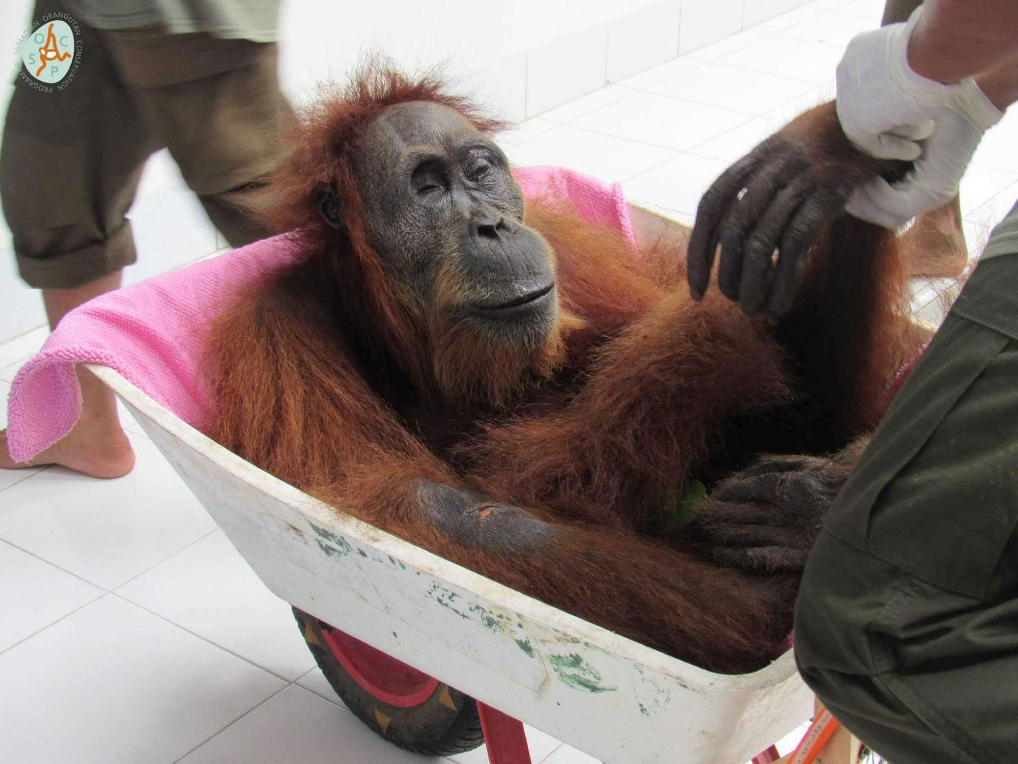 Crivellata di pallini e accecata, ma ce la farà: la storia dell orango simbolo della lotta all olio di palma