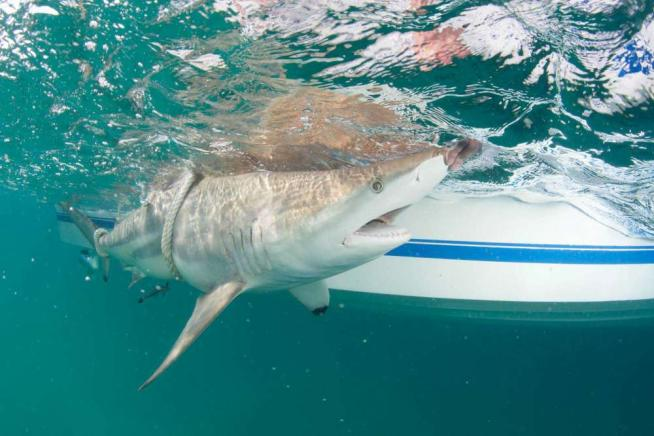 In Florida acque pericolosissime: migliaia di squali individuati durante la migrazione