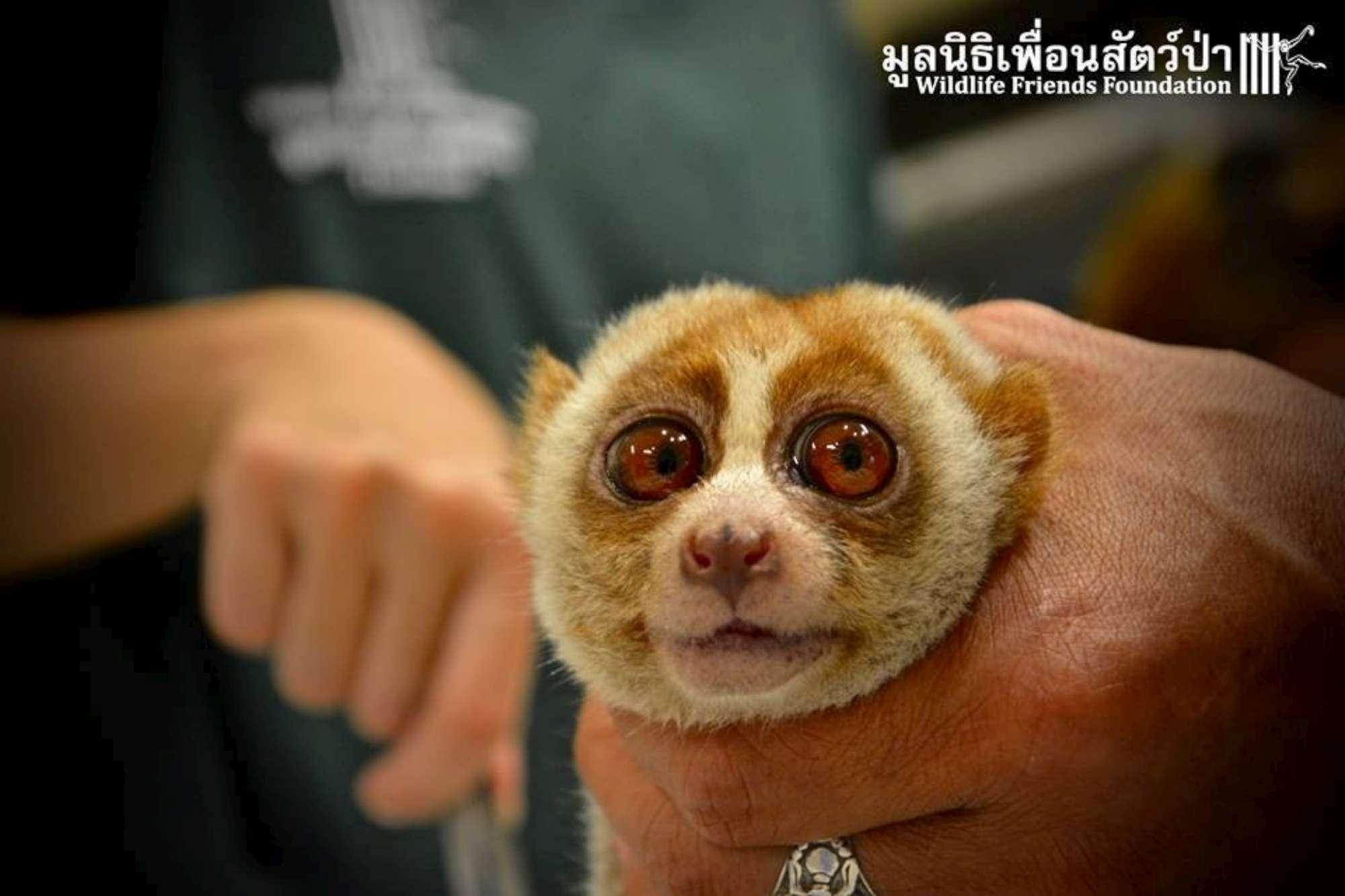 Thailandia, la piccola scimmia seviziata per fare selfie con i turisti