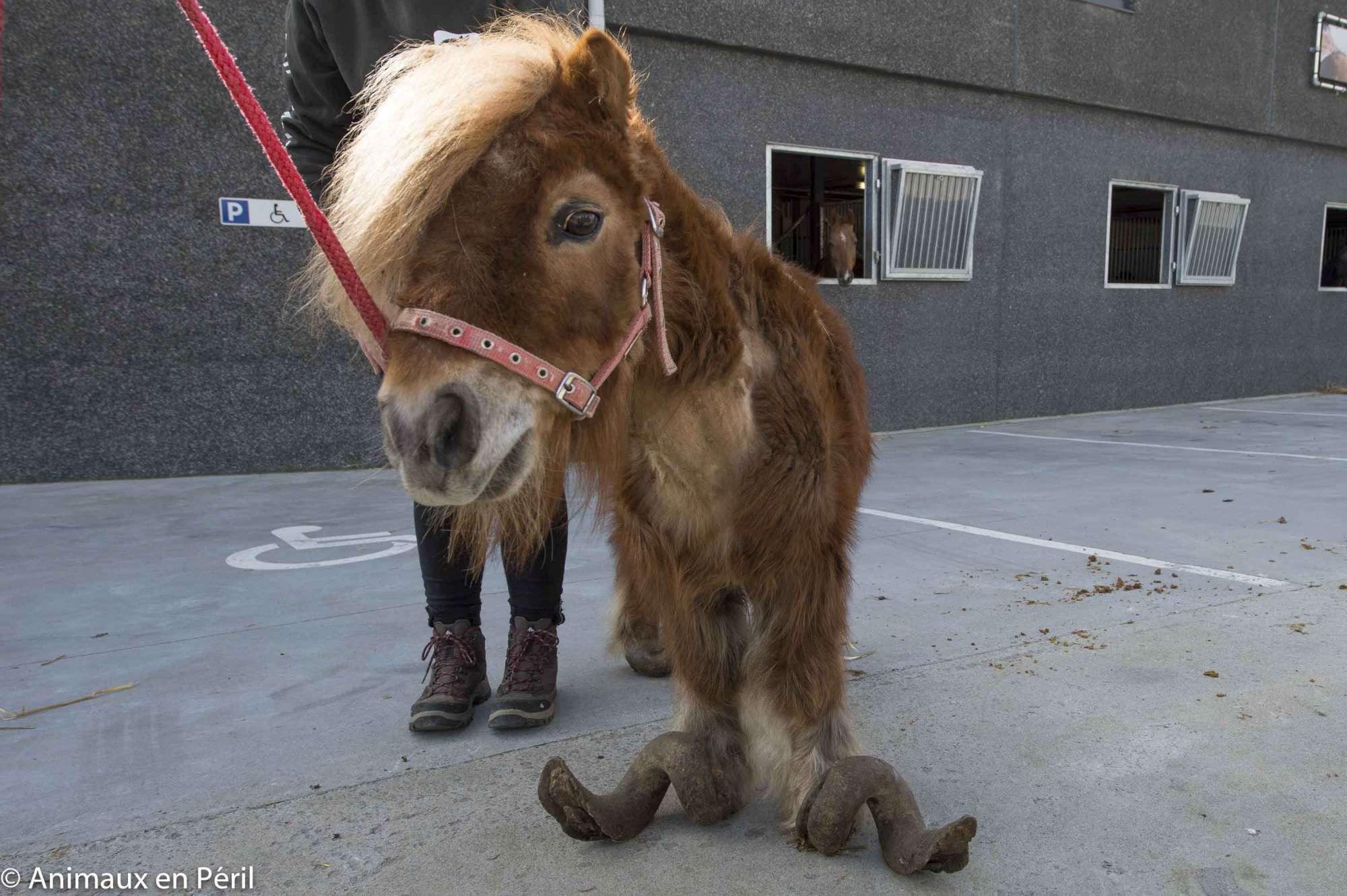 Denutrito e con gli zoccoli troppo grandi: il pony Poly torna a camminare