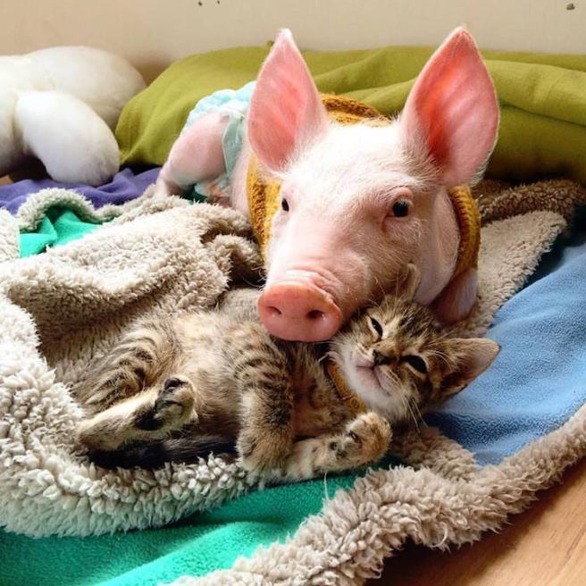Rimaste senza mamma, una maialina e una gattina diventano amiche del cuore