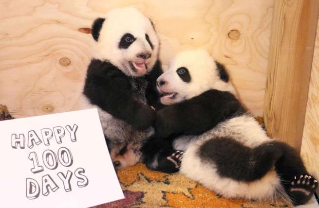 Toronto, zoo in festa: i cuccioli di panda festeggiano i loro primi cento giorni