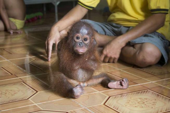 Ecco Joss, la piccola orangutan che si auto-abbraccia perché le manca la mamma