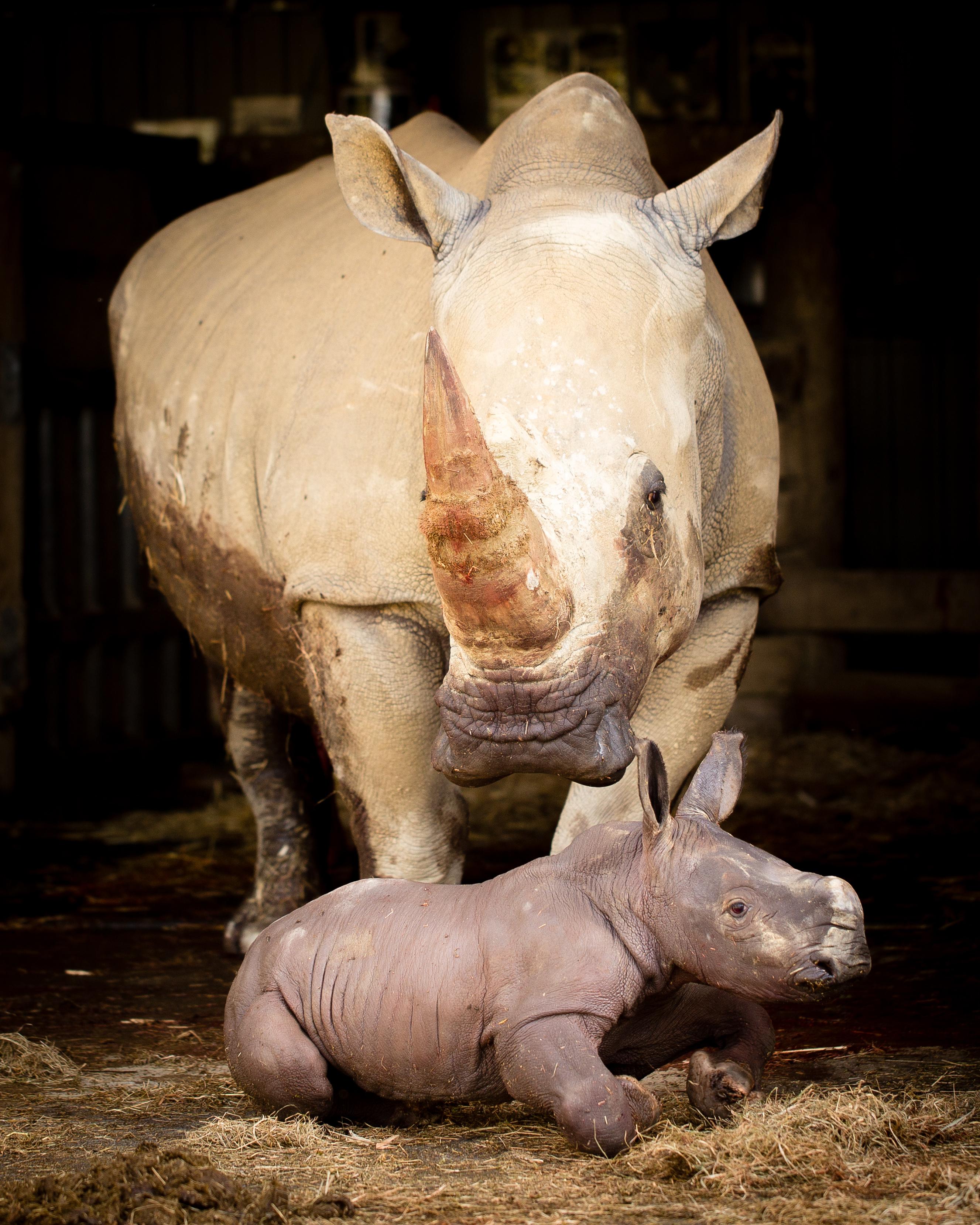 Nuova Zelanda, ecco un baby rinoceronte bianco del Sud