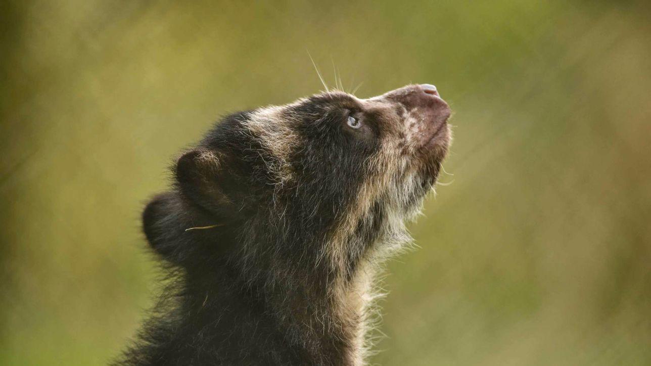 Gb, nato allo zoo di Chester un raro cucciolo di orso andino