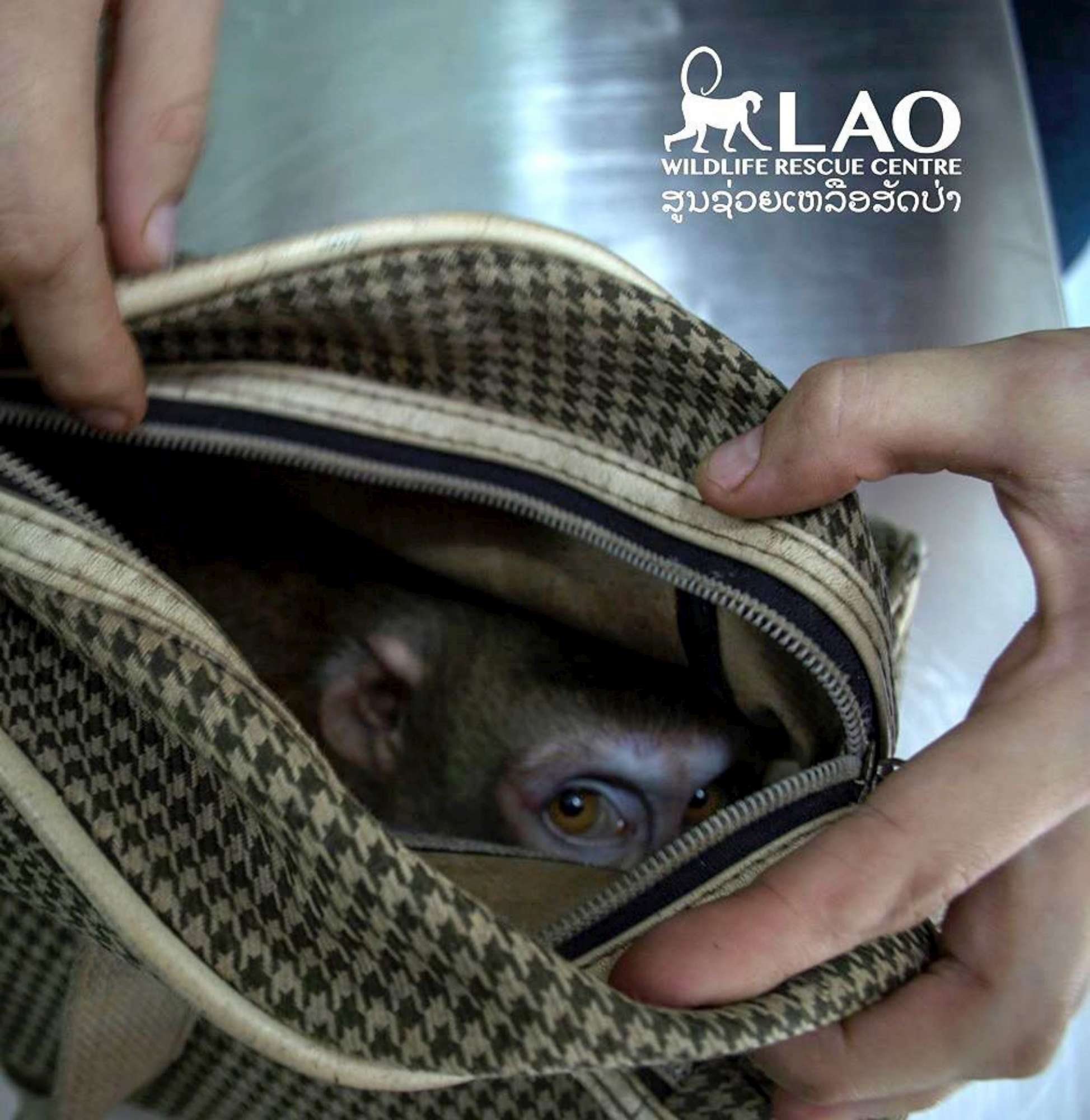 Laos, scimmia abbandonata e chiusa in una borsa