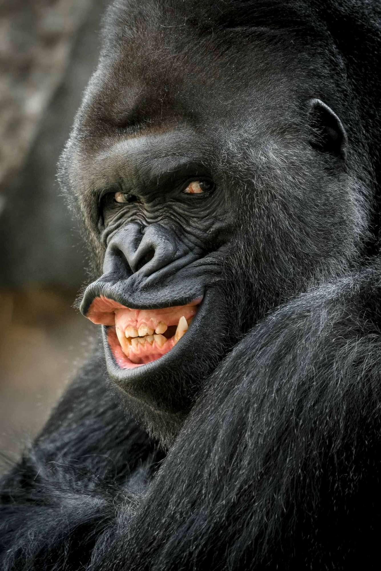 Praga, il gorilla fotogenico dello zoo in posa per i visitatori