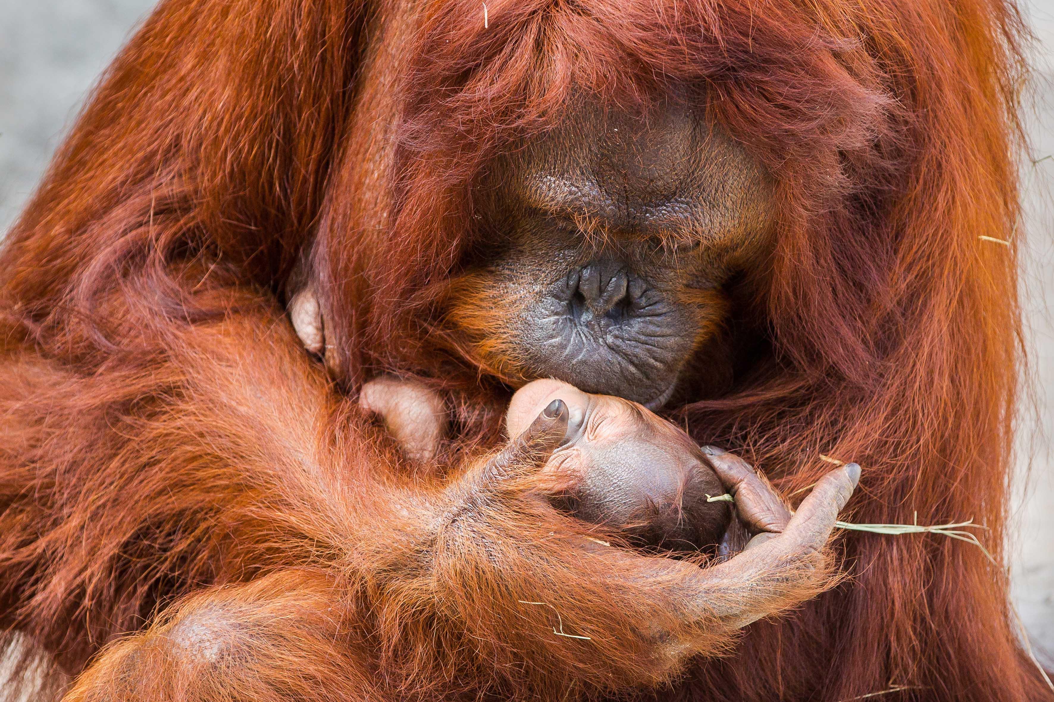 Florida, nato allo zoo di Tampa raro esemplare di orango