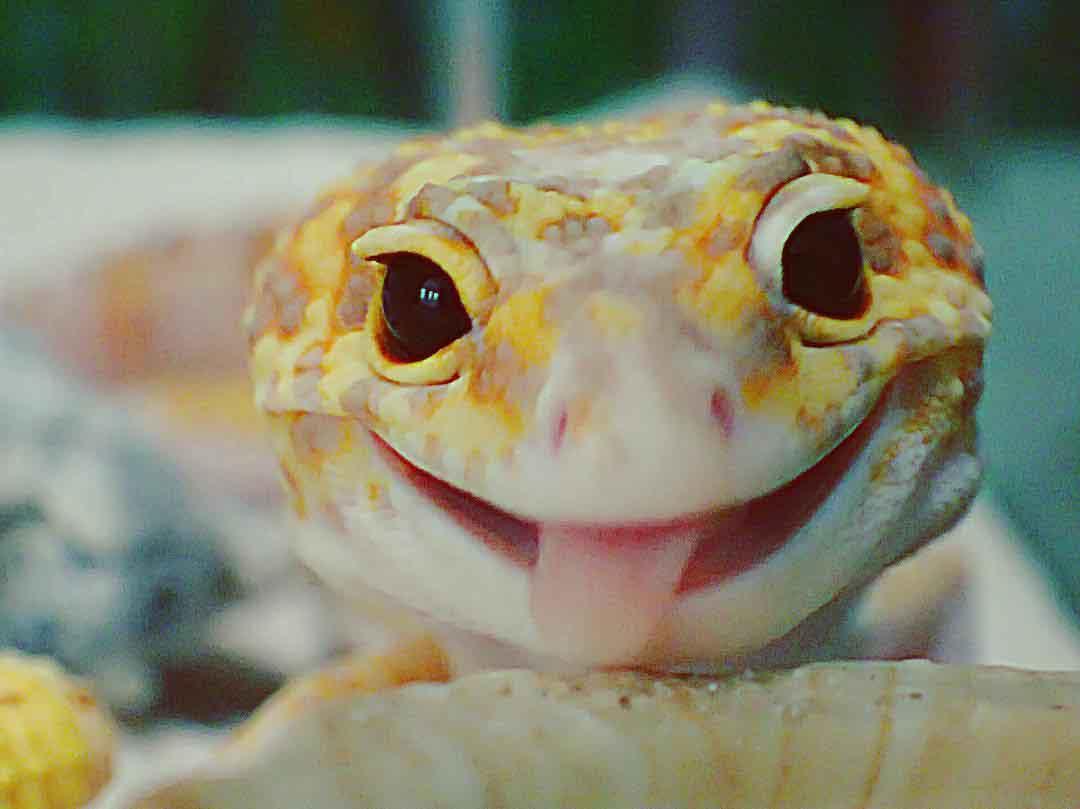 Giappone, l antidoto allo stress: ecco il geco sorridente