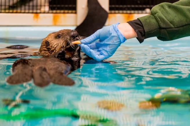Piccola lontra orfana trova una nuova casa