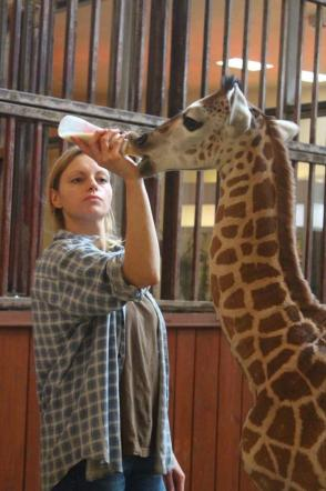 Varsavia, cucciolo di giraffa rifiutato da madre: salvato da veterinari