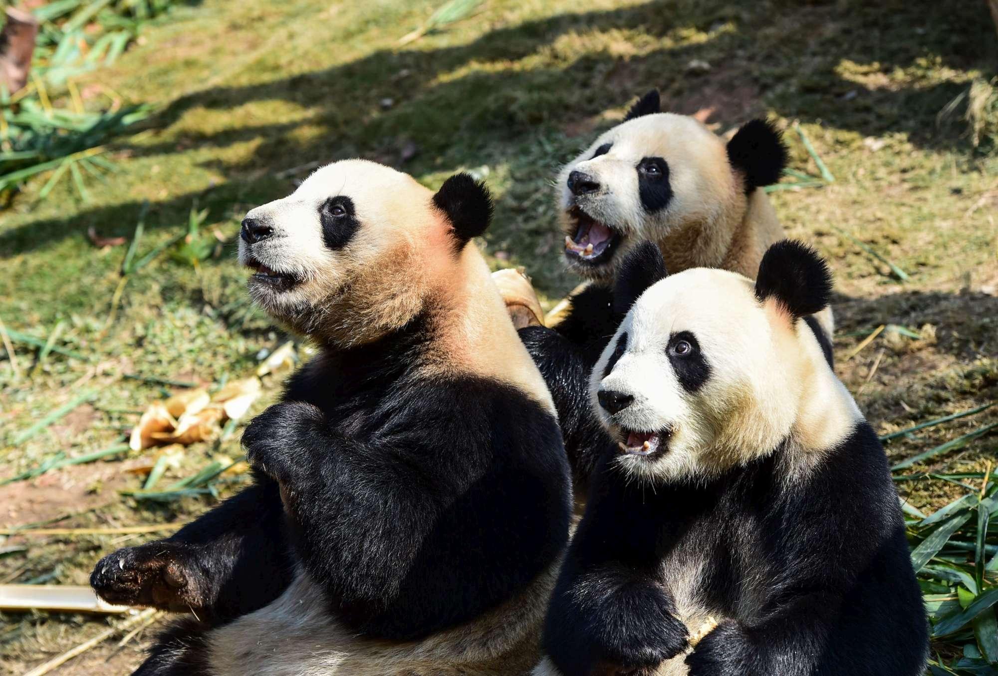 Il panda non è più nella lista delle specie a rischio di estinzione