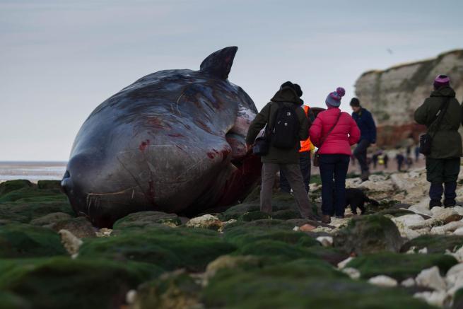 Gb, capodogli spiaggiati sulla costa: si teme per gli altri esemplari del branco