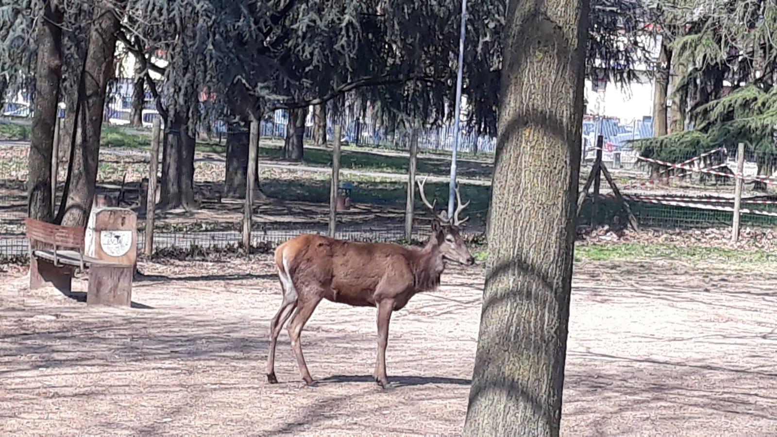 Monza, cervo catturato dalla polizia muore di crepacuore