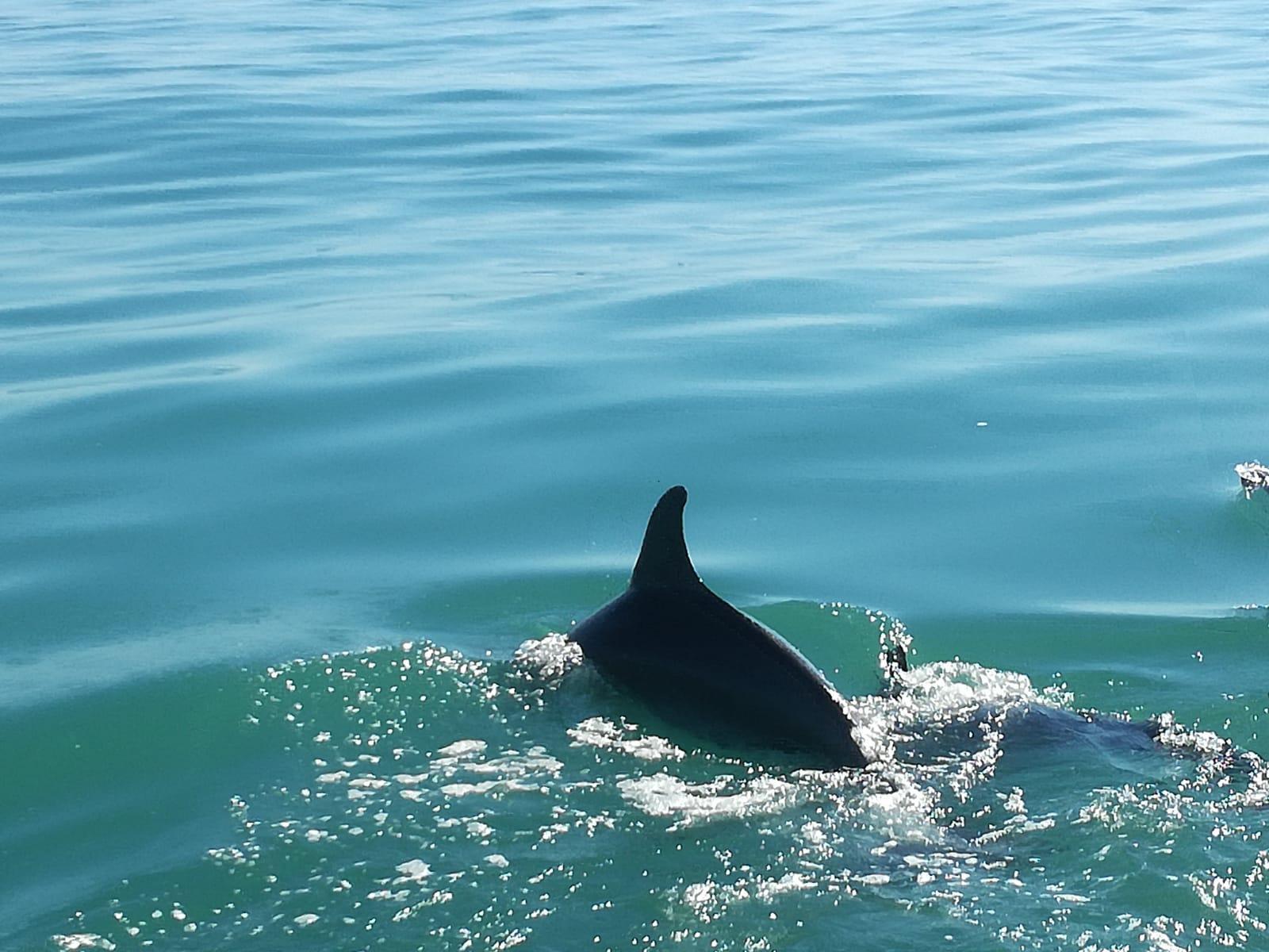 Civitanova Marche, un branco di delfini accompagna una barca