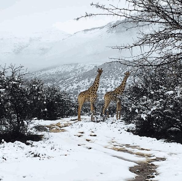 Sudafrica, elefanti e giraffe immersi nella neve