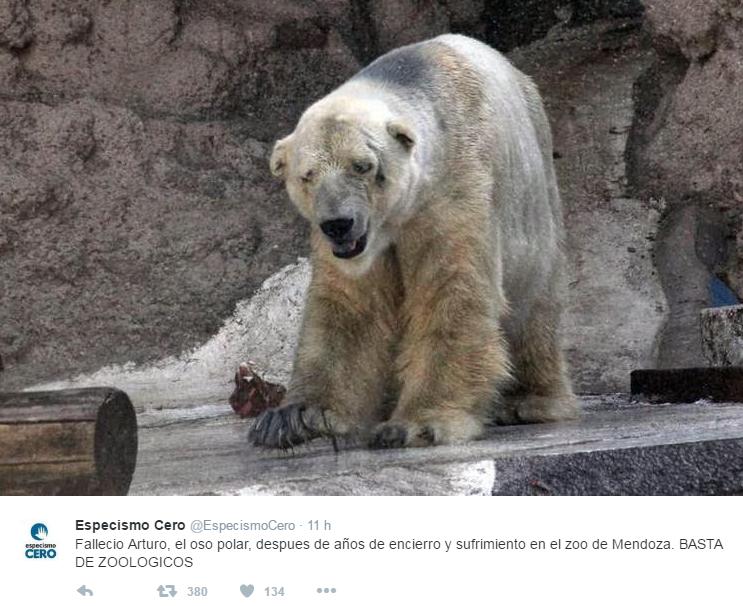 E  morto Arturo, l orso polare  più triste del mondo