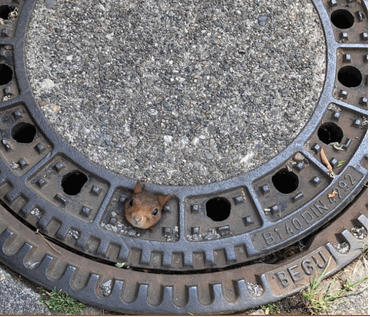 Dortmund, scoiattolo resta incastrato nel tombino: salvato dai vigili del fuoco
