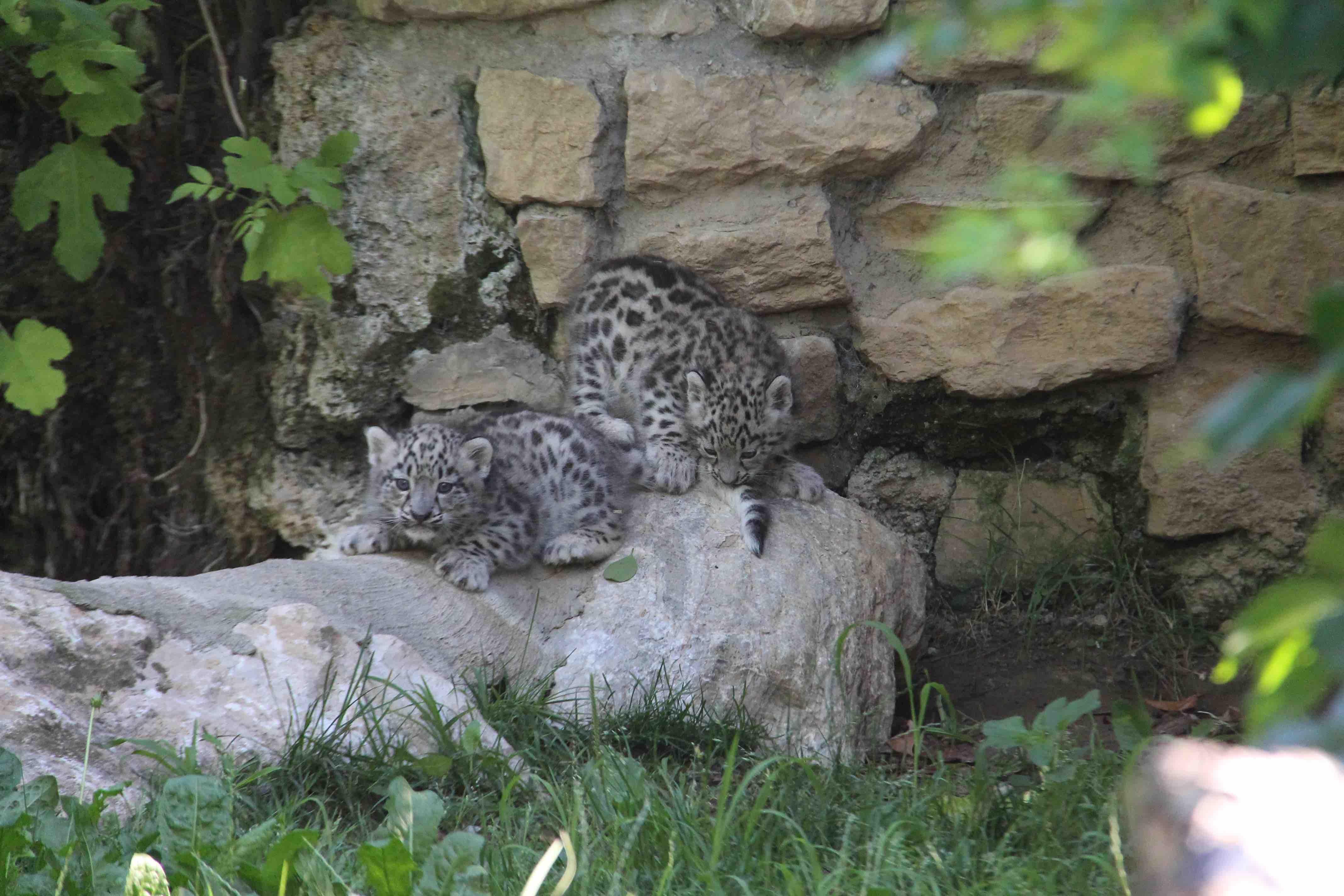 Fiocco azzurro a Bergamo: ecco due leopardi delle nevi