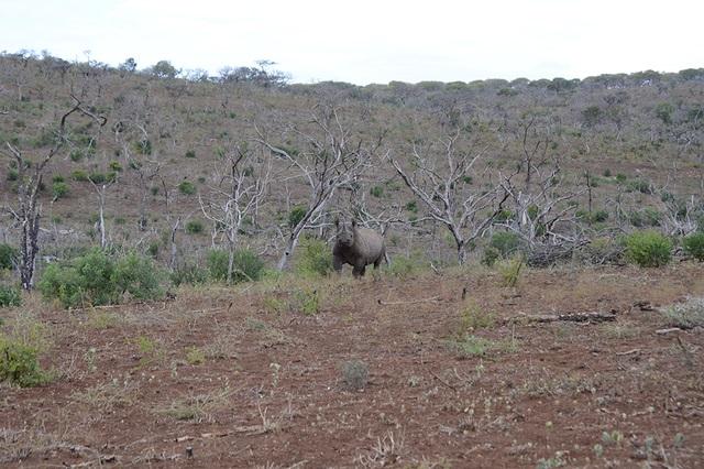 La carica del rinoceronte nero contro l auto da incornare