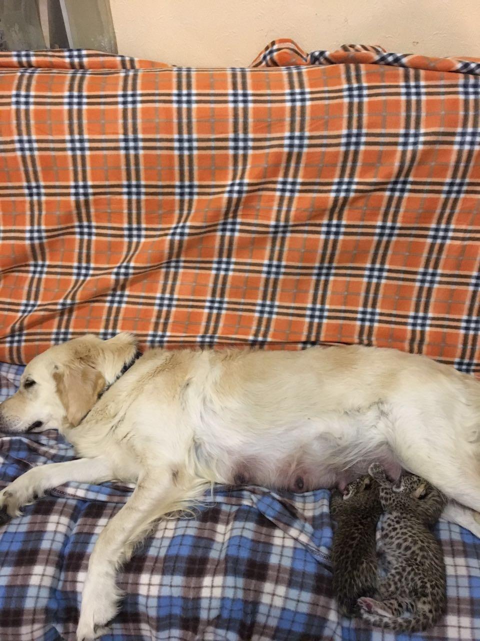 Russia Tessi Il Cane Adotta Due Cuccioli Di Leopardo Tgcom24