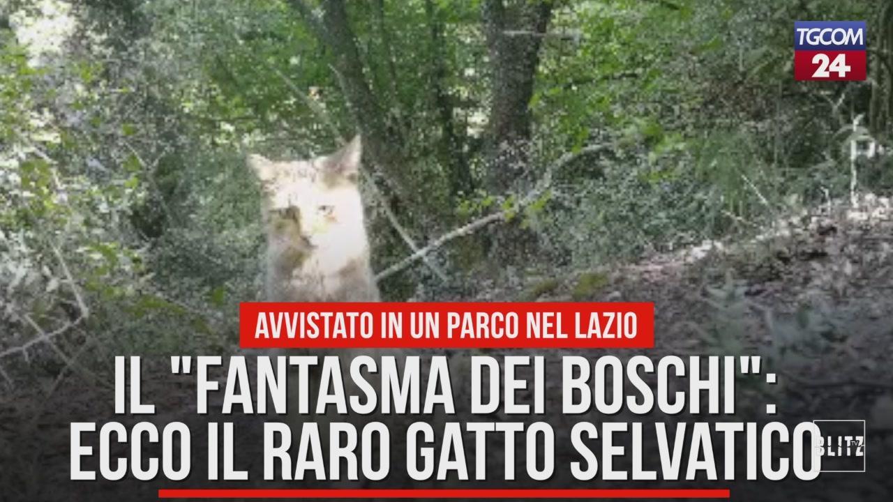 Il Fantasma Dei Boschi Ecco Il Raro Gatto Selvatico Video Tgcom24